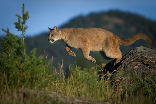 photo - mountain lion