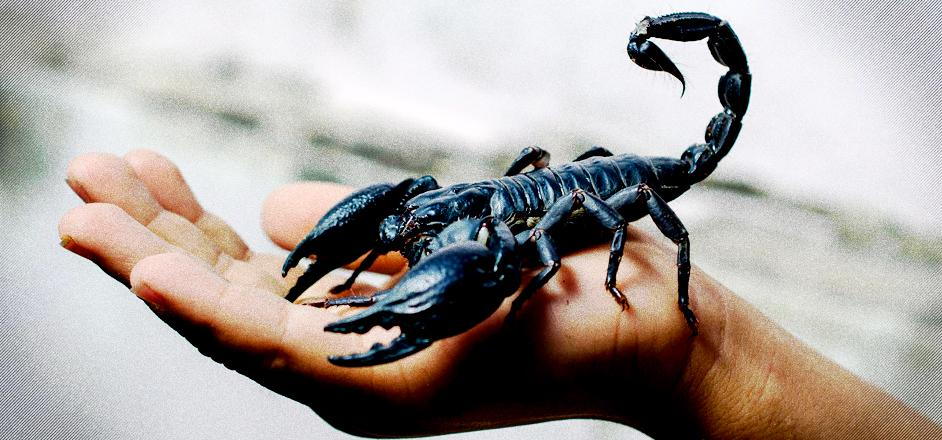 move over cough syrup scorpions are the cool new way to get high